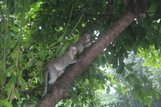 Vũng Tàu: Đàn khỉ dầm mưa xuống phố kiếm thức ăn mùa Covid-19 ảnh 1