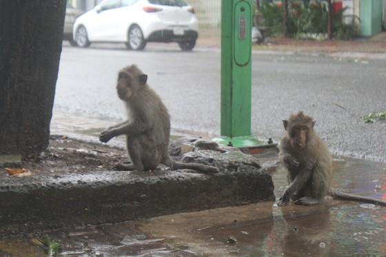 Vũng Tàu: Đàn khỉ dầm mưa xuống phố kiếm thức ăn mùa Covid-19 ảnh 3