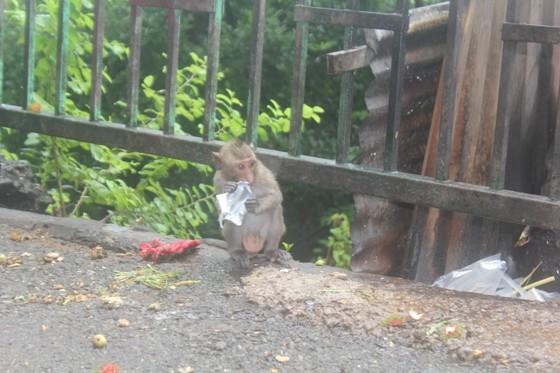 Vũng Tàu: Đàn khỉ dầm mưa xuống phố kiếm thức ăn mùa Covid-19 ảnh 5