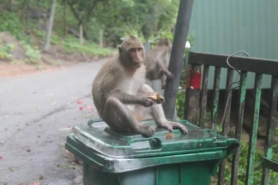 Vũng Tàu: Đàn khỉ dầm mưa xuống phố kiếm thức ăn mùa Covid-19 ảnh 4