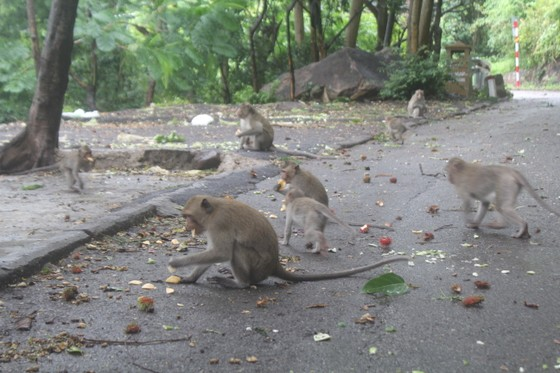 Vũng Tàu: Đàn khỉ dầm mưa xuống phố kiếm thức ăn mùa Covid-19 ảnh 8