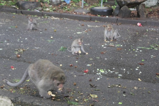 Vũng Tàu: Đàn khỉ dầm mưa xuống phố kiếm thức ăn mùa Covid-19 ảnh 7