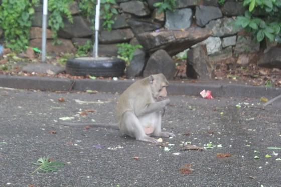 Vũng Tàu: Đàn khỉ dầm mưa xuống phố kiếm thức ăn mùa Covid-19 ảnh 6