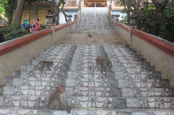 Vũng Tàu: Đàn khỉ dầm mưa xuống phố kiếm thức ăn mùa Covid-19 ảnh 9