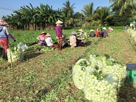 Giúp người trồng rau ở Gò Công  ảnh 1