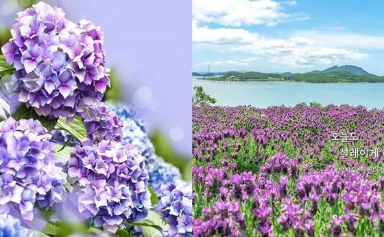韓國新景點「紫島」四處都是夢幻般的紫色 ảnh 1