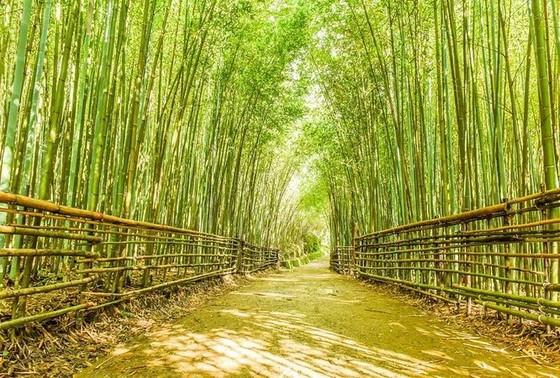台灣6個「絕美竹林秘境」 走一趟「享受滿滿芬多精」忘卻憂愁 ảnh 1