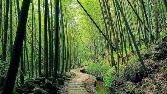 台灣6個「絕美竹林秘境」 走一趟「享受滿滿芬多精」忘卻憂愁 ảnh 2