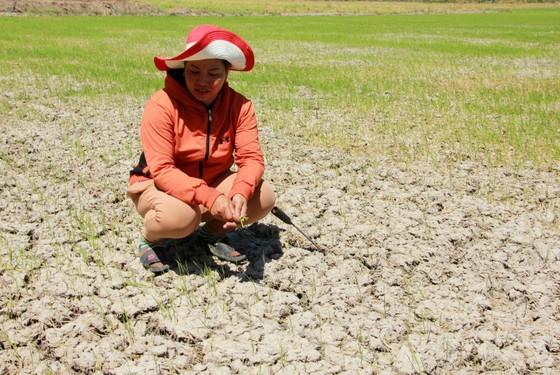 Cái Tết buồn của nông dân sản xuất lúa vụ 3 ảnh 3