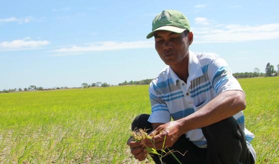 Cái Tết buồn của nông dân sản xuất lúa vụ 3 ảnh 1