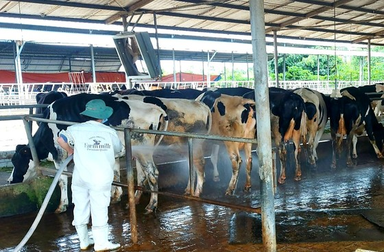 Xót xa cảnh nông dân nuôi bò sữa mang sữa đi đổ bỏ ảnh 2