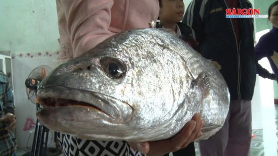 Ngư dân Quảng Nam bắt được cá nghi là cá sủ vàng  ảnh 1