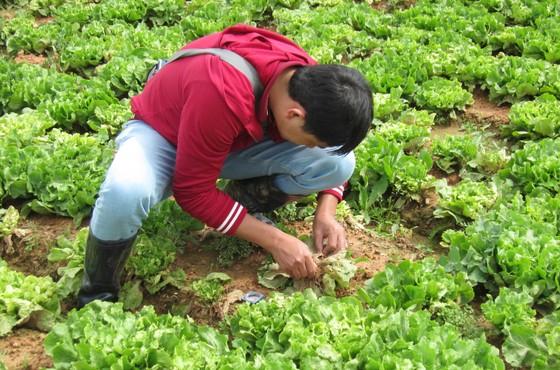 Hàng trăm héc ta rau, hoa tại Đà Lạt nhiễm virus phải nhổ bỏ ảnh 1
