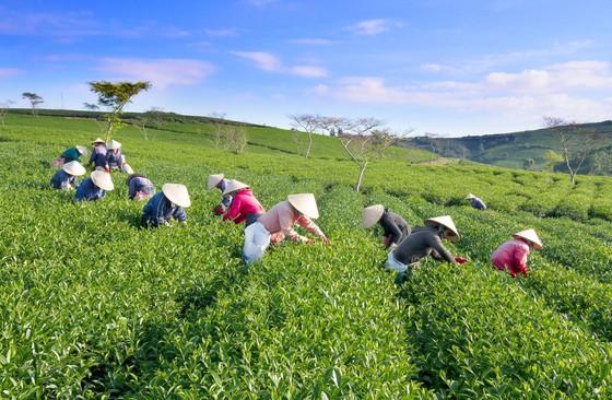 Khám phá vùng trà gần 100 năm ở Đà Lạt ảnh 3
