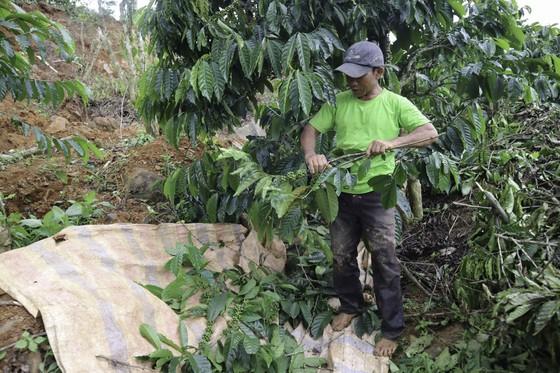 Người dân liều mình vào vùng sạt lở thu hoạch cà phê ảnh 5