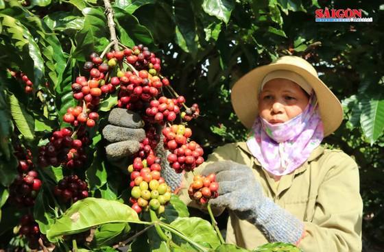 Liên kết sản xuất sẽ đảm bảo tính bền vững cho cà phê Việt Nam ảnh 1