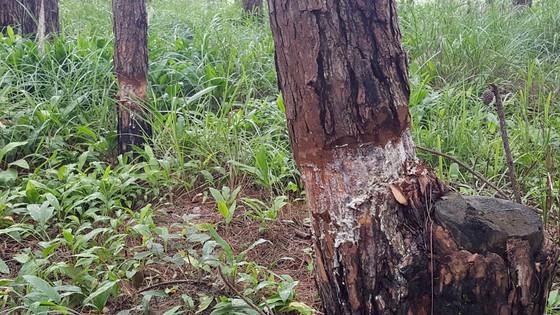 """Rừng phòng hộ ở Lâm Đồng bị """"giết chết"""" như thế nào? ảnh 15"""