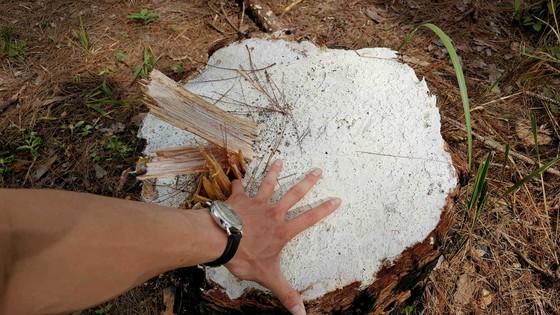 """Rừng phòng hộ ở Lâm Đồng bị """"giết chết"""" như thế nào? ảnh 16"""