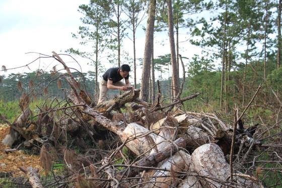 """Rừng phòng hộ ở Lâm Đồng bị """"giết chết"""" như thế nào? ảnh 18"""
