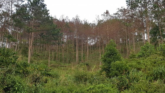 """Rừng phòng hộ ở Lâm Đồng bị """"giết chết"""" như thế nào? ảnh 1"""