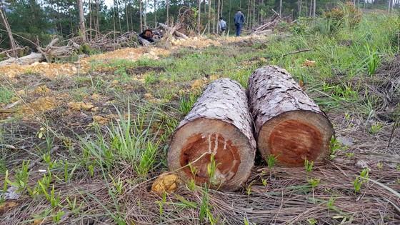 """Rừng phòng hộ ở Lâm Đồng bị """"giết chết"""" như thế nào? ảnh 5"""