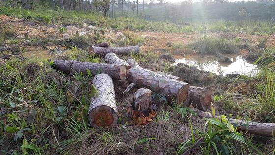 """Rừng phòng hộ ở Lâm Đồng bị """"giết chết"""" như thế nào? ảnh 4"""