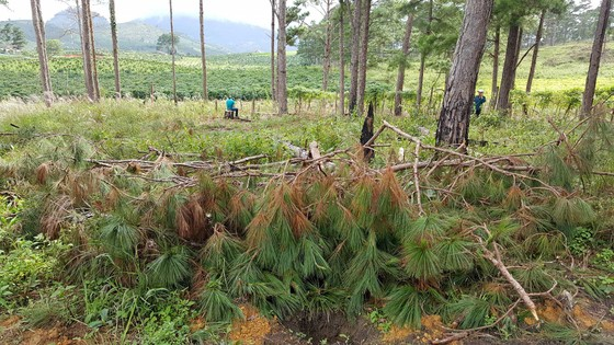"""Rừng phòng hộ ở Lâm Đồng bị """"giết chết"""" như thế nào? ảnh 6"""