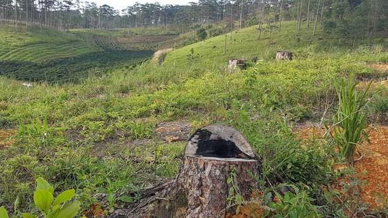 """Rừng phòng hộ ở Lâm Đồng bị """"giết chết"""" như thế nào? ảnh 7"""