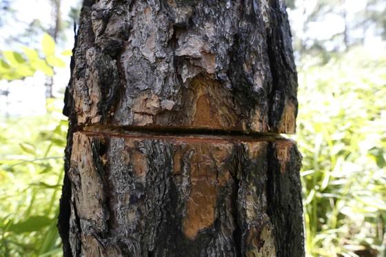 Rừng thông bị đốn hạ hàng loạt  ảnh 5