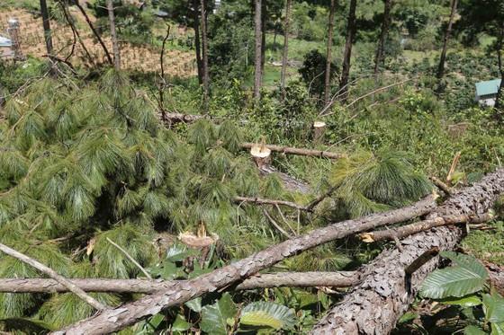 Rừng thông bị đốn hạ hàng loạt  ảnh 8