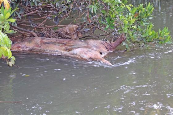 Người dân vứt xác lợn xuống suối ngay trong vùng dịch ảnh 1