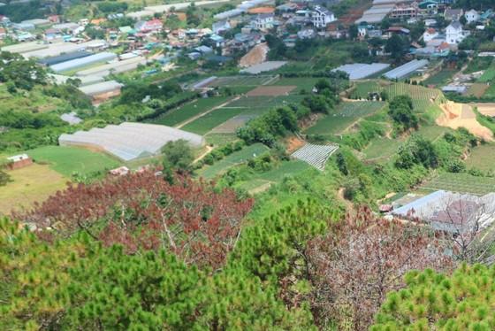 Hàng loạt cây thông ở Đà Lạt bị 'bức tử' trong khu dân cư ảnh 11