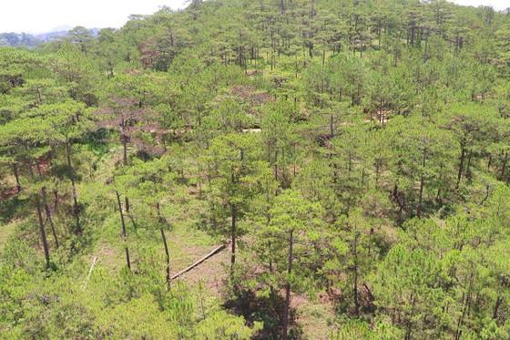 Hàng loạt cây thông ở Đà Lạt bị 'bức tử' trong khu dân cư ảnh 13