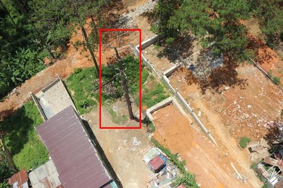 Hàng loạt cây thông ở Đà Lạt bị 'bức tử' trong khu dân cư ảnh 7