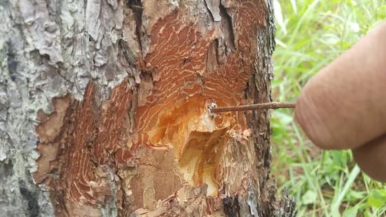 """Hàng chục cây thông bị """"đầu độc"""" ở Đà Lạt ảnh 2"""
