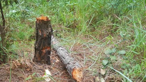 """Hàng chục cây thông bị """"đầu độc"""" ở Đà Lạt ảnh 4"""