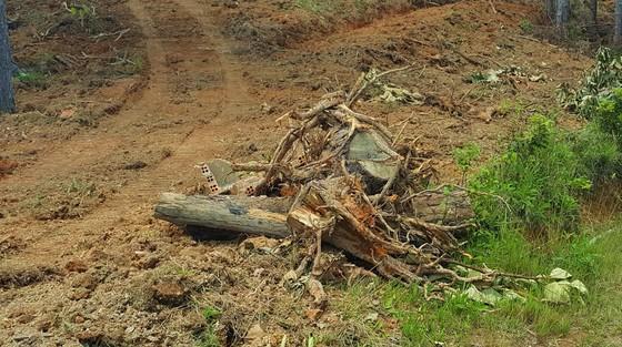 Rừng thông tại Lâm Đồng tiếp tục bị 'cạo trọc' ảnh 11