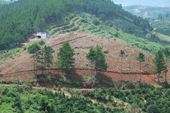 Rừng thông tại Lâm Đồng tiếp tục bị 'cạo trọc' ảnh 12
