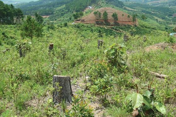 Rừng thông tại Lâm Đồng tiếp tục bị 'cạo trọc' ảnh 8