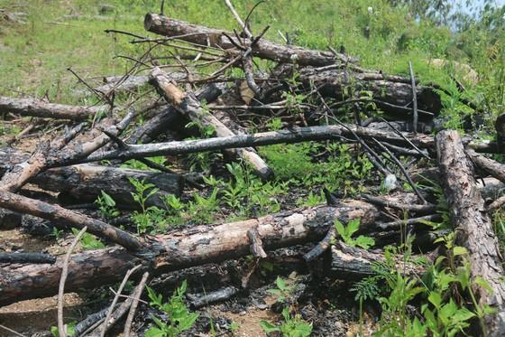 Rừng thông tại Lâm Đồng tiếp tục bị 'cạo trọc' ảnh 7