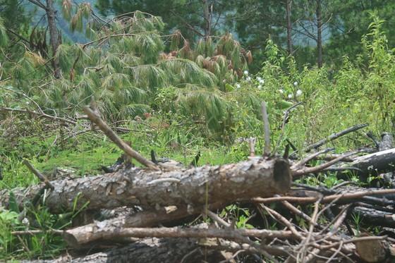 Rừng thông tại Lâm Đồng tiếp tục bị 'cạo trọc' ảnh 6
