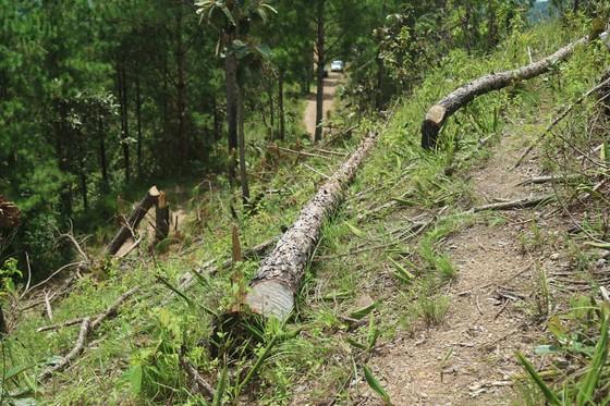 Rừng thông tại Lâm Đồng tiếp tục bị 'cạo trọc' ảnh 4