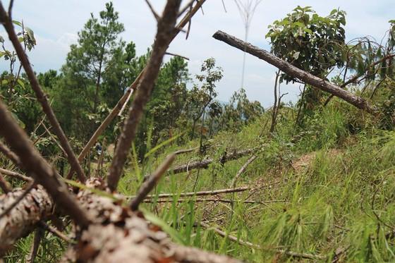 Rừng thông tại Lâm Đồng tiếp tục bị 'cạo trọc' ảnh 9