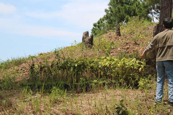 Rừng thông tại Lâm Đồng tiếp tục bị 'cạo trọc' ảnh 10