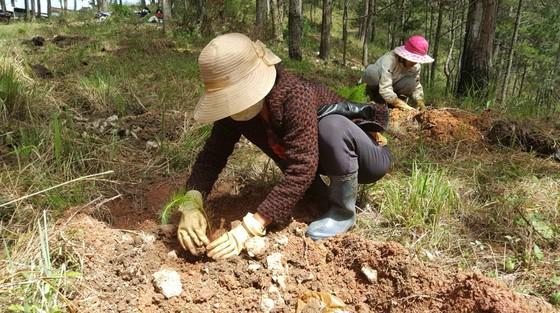 Trồng lại 8.500 cây thông trên đất rừng bị phân lô, lấn chiếm ở Đà Lạt ảnh 5