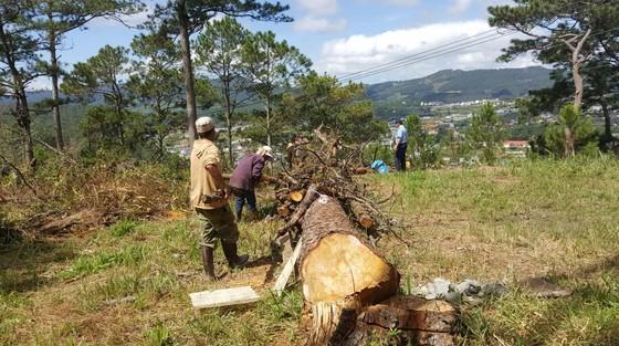 Trồng lại 8.500 cây thông trên đất rừng bị phân lô, lấn chiếm ở Đà Lạt ảnh 2