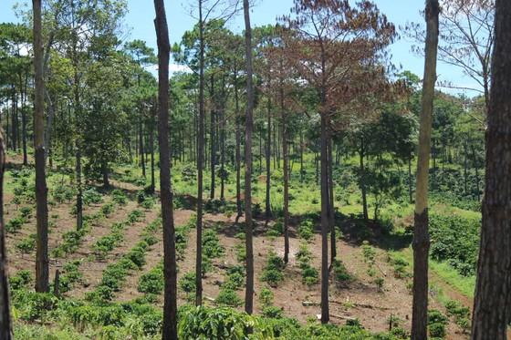 Xử lý trách nhiệm hàng loạt tập thể, cá nhân để xảy ra các vụ phá rừng lớn tại Lâm Đồng ảnh 3