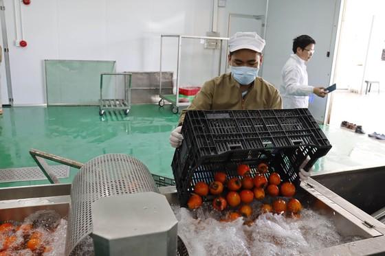 Sấy treo trái hồng Đà Lạt theo công nghệ Nhật Bản ảnh 1