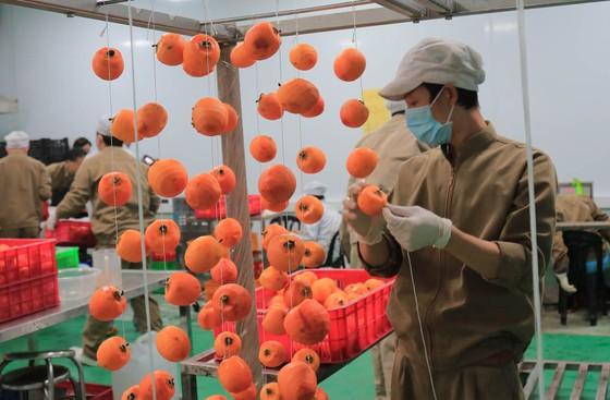 Sấy treo trái hồng Đà Lạt theo công nghệ Nhật Bản ảnh 5