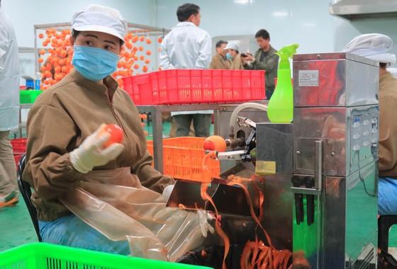 Sấy treo trái hồng Đà Lạt theo công nghệ Nhật Bản ảnh 3
